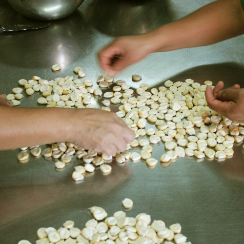 Seleccion de maíz